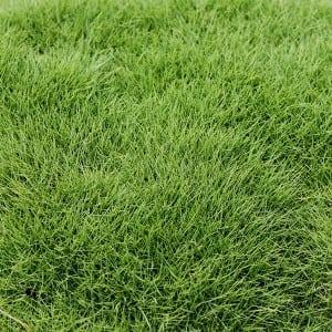 Zeon Zoysias Sod Grass