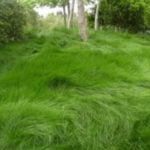 Greenwave Red Fescue