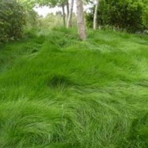 Greenwave Fescue Grass