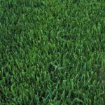 Marathon 3 Lite Sod Grass